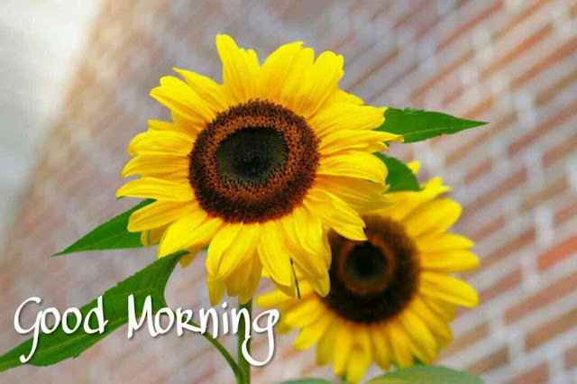 Beautiful good morning images , pics and photos of sun flowers