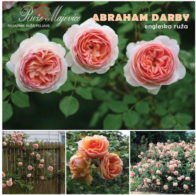 ABRAHAM DARBI - Abraham Darby Roze ruža. Engleska ruža
