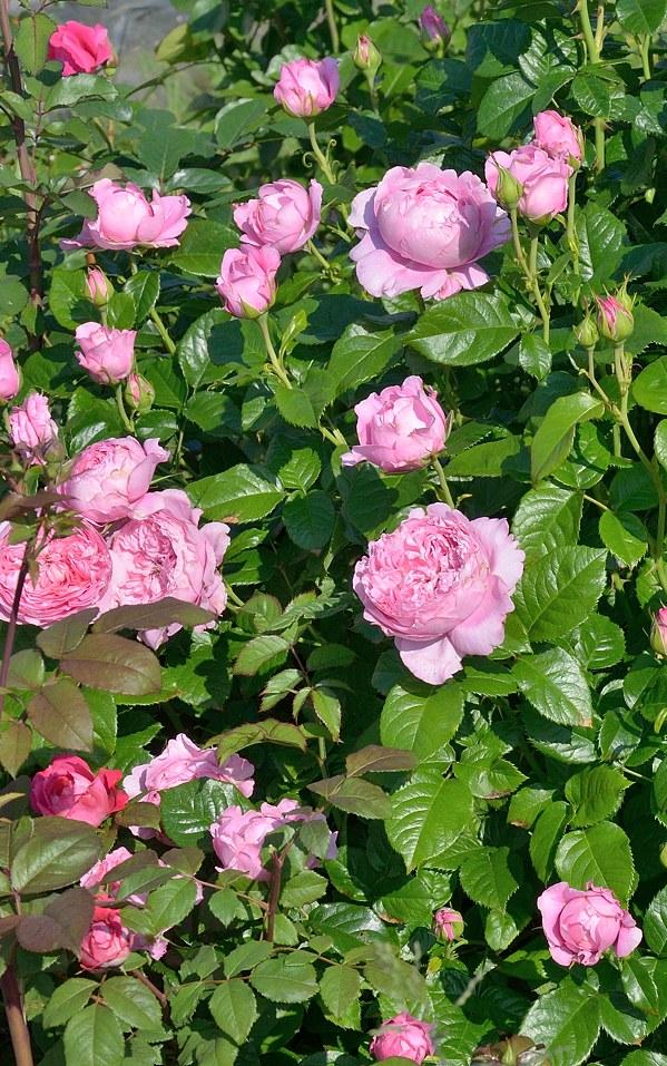 Chantal Merieux роза фото