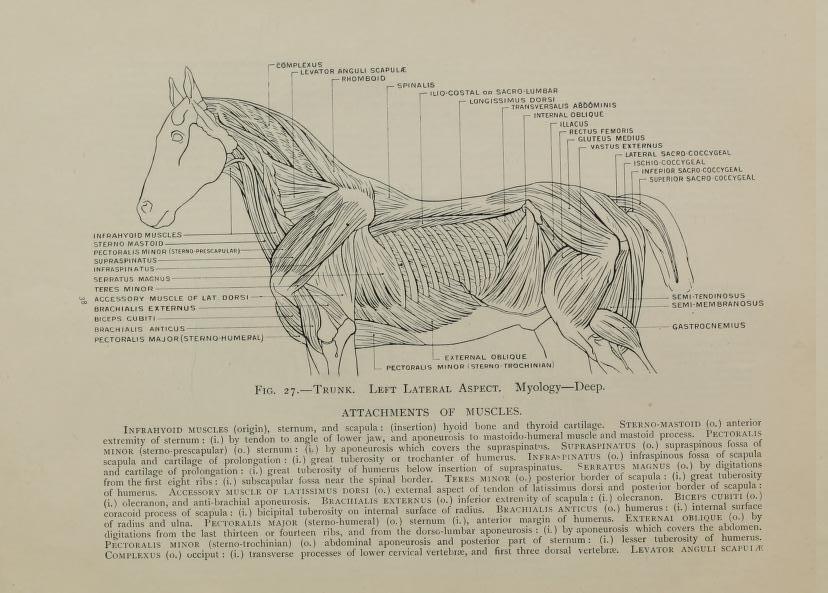 Dariusz caballeros: Edouard Lanteri - horse anatomy and proportions p2