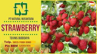 Panduan lengkap budidaya strowberry dengan menggunakan pupuk organik NASA