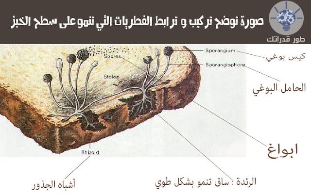 صورة توضح تركيب و  ترابط الفطريات التي تنمو على سطح الخبز