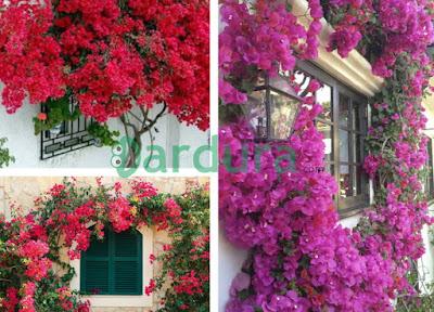 Taman bunga bugenvil di samping jendela