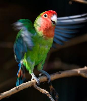 Unduh Mp3 Suara Lovebird yang Gacor Hanya Disini