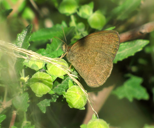 Ypthimoides celmis Mariposa Marrón del pastizal