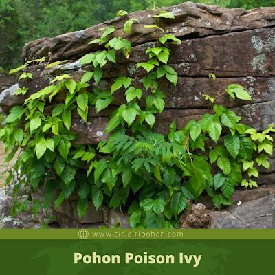 Ciri Ciri Pohon Poison Ivy