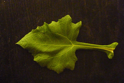 perennial vegetables, plant once harvest forever - yacon