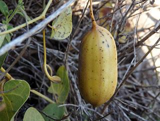 Fruto de Candiles (Aristolochia baetica)