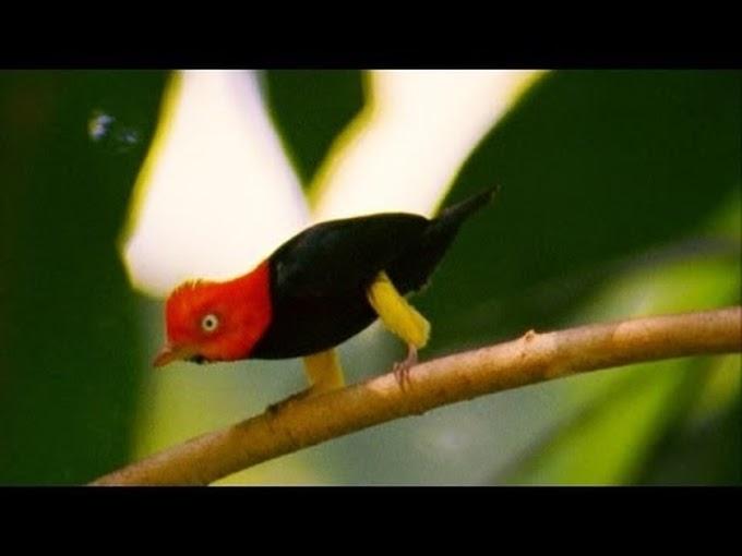 Танцующая птица