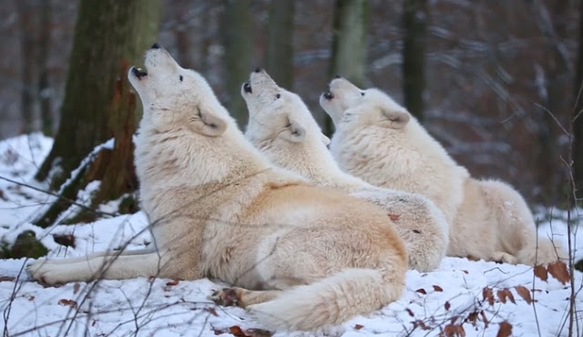 Arctic Wolfpack Howls: The Most Beautiful Sound You'll Ever Hear