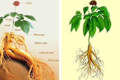 Planta Medicinal más popular en el mundo