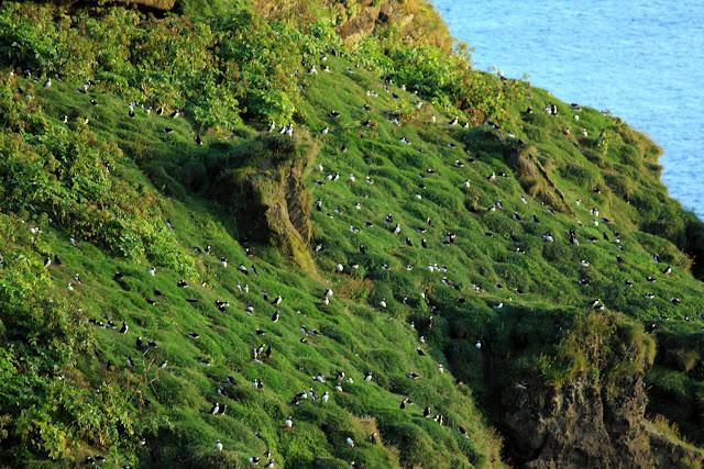 Colonia de frailecillos en Islandia