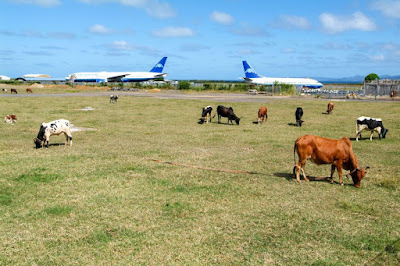 Vaches qui broutent de l'herbe proche du tarmac, piste d'atterrissage.
