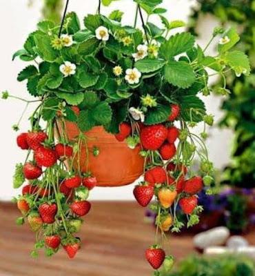 Ingin Berkebun di Atap Rumah Cobalah 5 Tanaman Ini