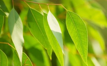 6 benefícios para a saúde do óleo anti-inflamatório de eucalipto