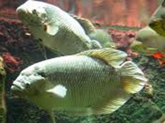 Ampuh Umpan Jitu Sebagai Alternatif Untuk Mancing Ikan Gurame