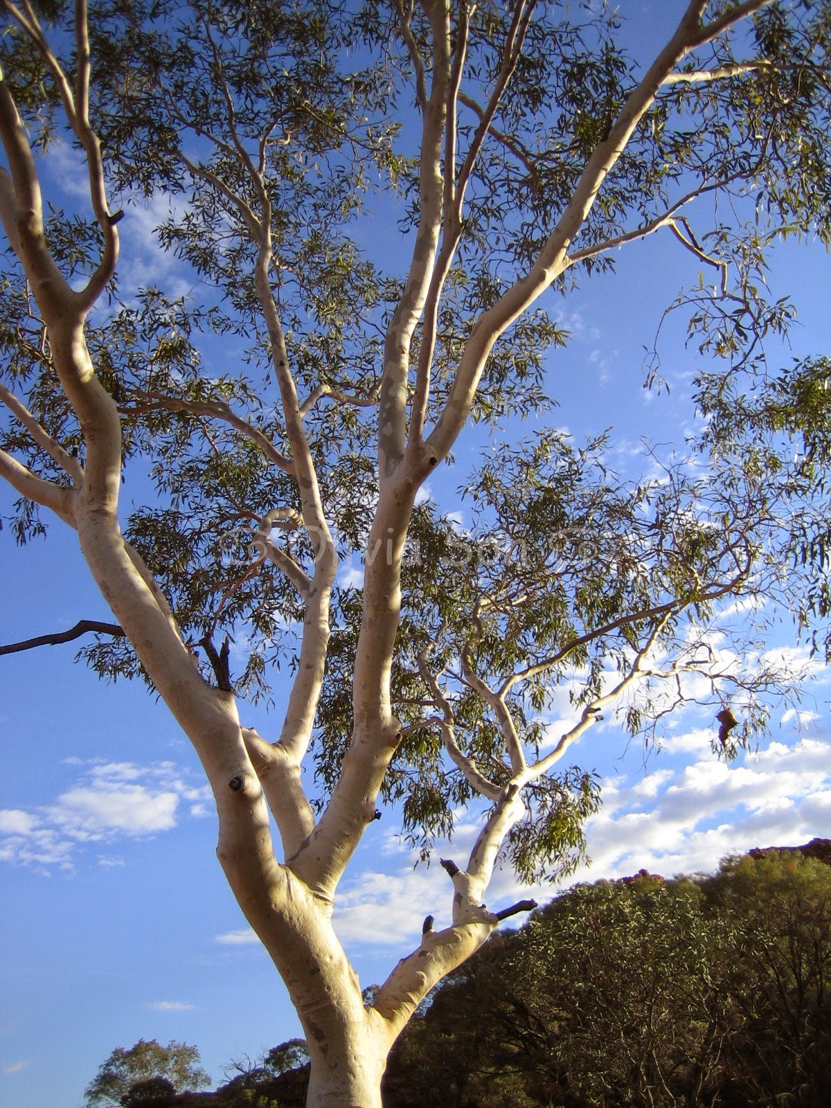 Ghost Gum Tree, Kings Canyon, Australie