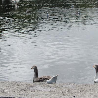 Ganso sentado à beira de um lago