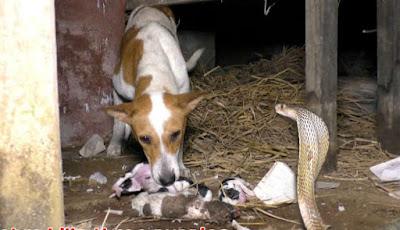 Anjing menangis anaknya tewas digigit ular kobra