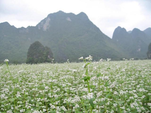 Top destinations to enjoy buckwheat blooming in Vietnam 2