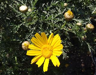 Pajito amarillo (Anacyclus radiatus)
