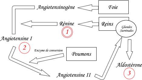 Système rénine angiotensine aldostérone schema