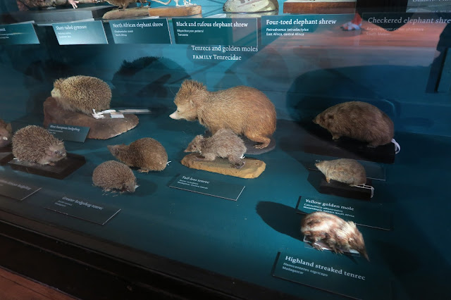 hedgehogs at The Natural History museum