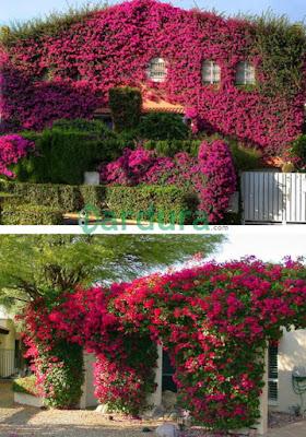 Taman bunga bugenvil menempel di tembok rumah