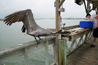 Brown pelican juvenile snatching a fish Aransas Bay, TX, by Jodi Arsenault