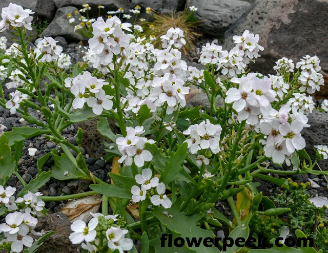 Easy ways to care for Sea Rocket plant
