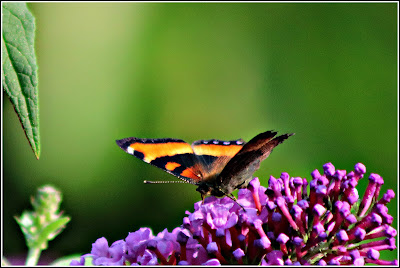 August 27, 2018  Watching butterflies never grows old  I think I am looking at the Red Admiral Butterfly