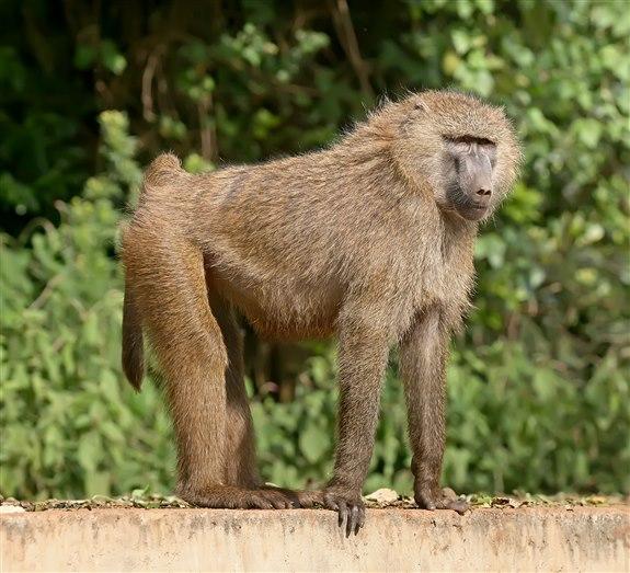 Babun - B hayvan isimleri