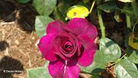 Burgundy Iceberg rose, Elizabeth Park - West Hartford, CT