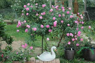 hoa hong treerose