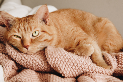 ginger cat lying on a pink blanket