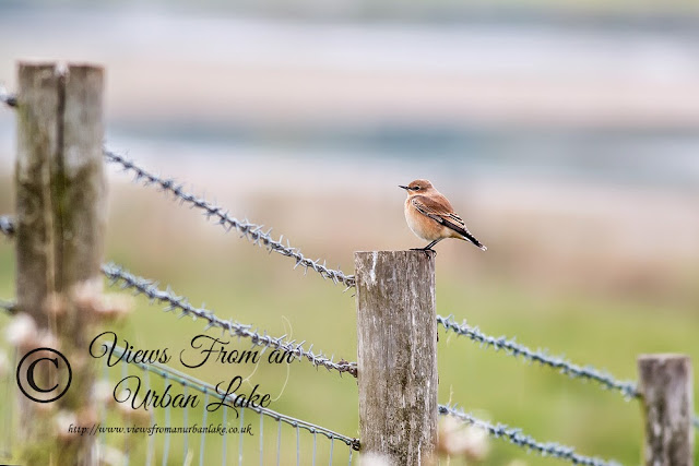Wheatear on one of the Fences around the Cattle Fields