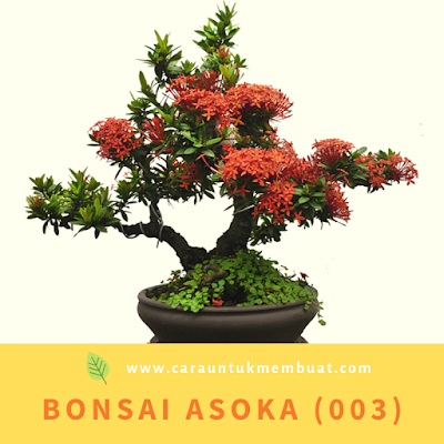 Bonsai Asoka (003)