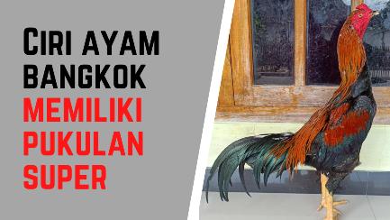 Ciri Ayam Bangkok yang Memiliki Pukulan Super