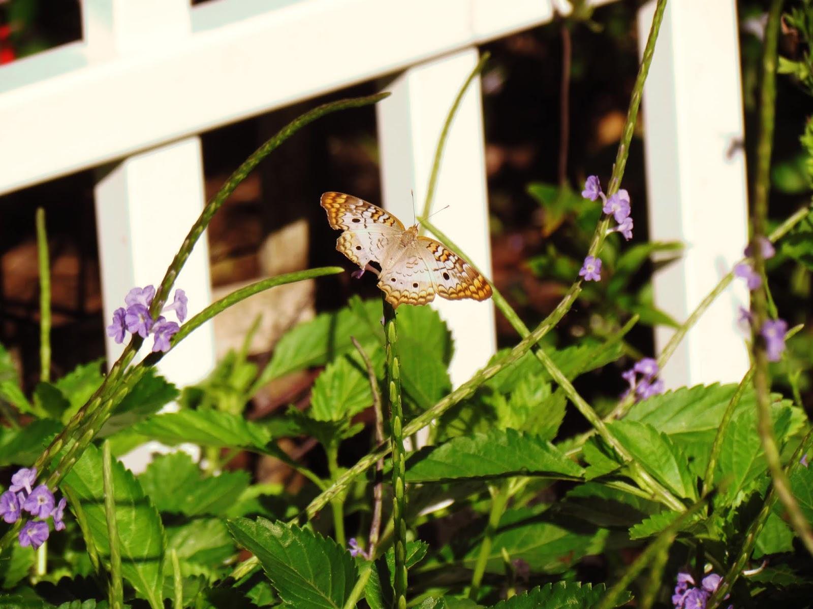 Friends of Hammock Butterfly Garden With Zebra Swallowtail Butterfly Species, Florida Butterfly Species, Butterfly Plants