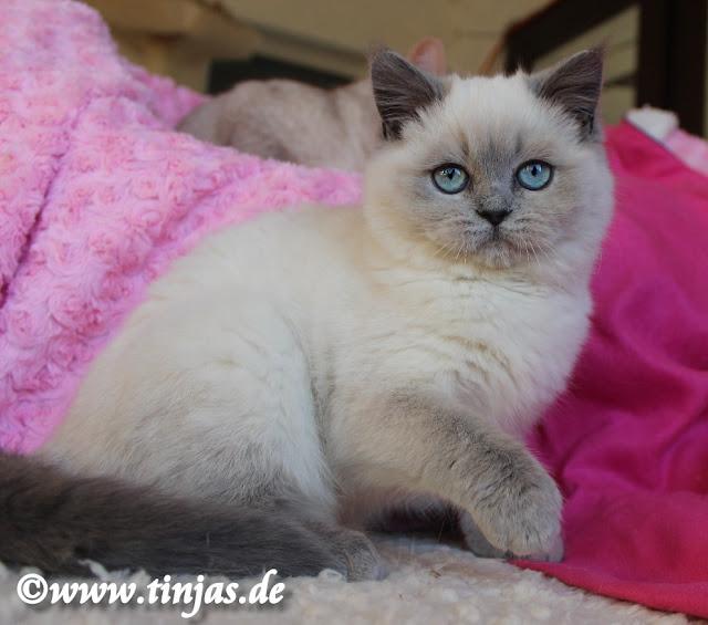Britisch Kurzhaar Katzenbaby bluepoint