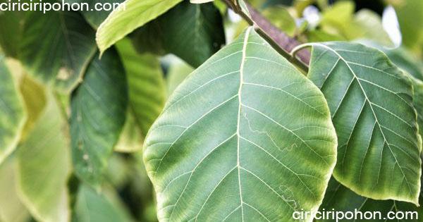 ciri ciri pohon jati