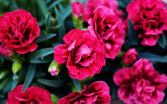 2. Bunga Anyelir