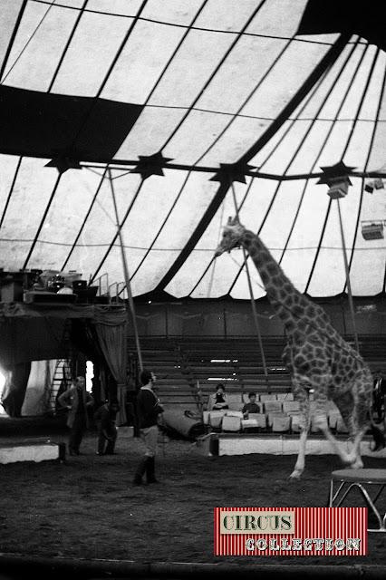 Répétition de dressage des chevaux et de la girafe de Fredy Knie junior  sous le chapiteau du Cirque National Suisse Knie  1970