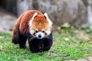 O panda-vermelho é um pequeno mamífero nativo do Himalaia e da China. Possui uma coloração castanho-avermelhada característica, cauda comprida e felpuda e um andar gingado devido ao encurtamento dos membros dianteiros. É um animal solitário, territorialista e de hábito crepuscular e noturno.