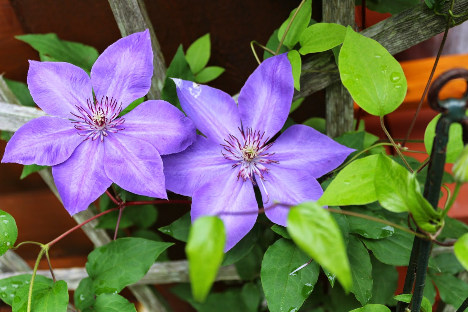 Purple flowers and rain... Living from Glory to Glory Blog