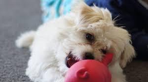 Chihuahua Bichon Mix Temperament, Size, Lifespan, Adoption, Price