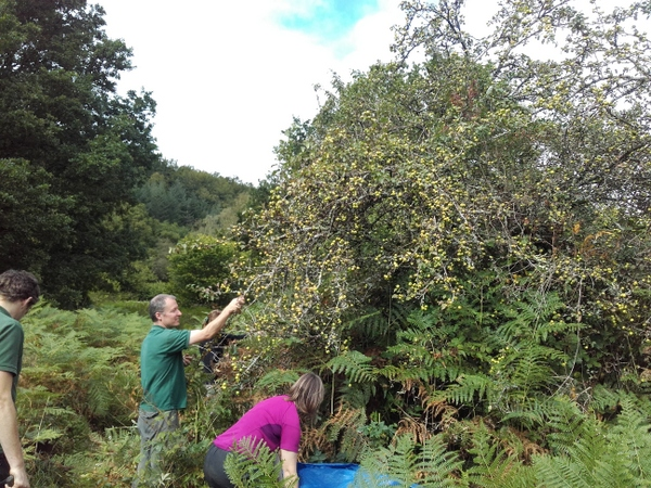 Devon Wildlife Trust staff pick crab apples at the  charity's Dunsford nature reserve (Teign Valley) - Photo copyright DWT (All rights Reserved)