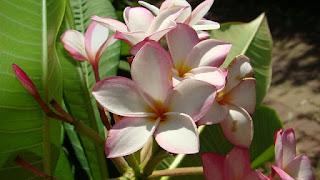 Dibalik Mitos Bunga Kamboja Yang Belum Banyak Diketahui
