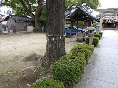寝屋川市 神田天満宮 指定番号25番、樹高19.70m、幹周り2.12m、推定樹齢300年のイチョウ