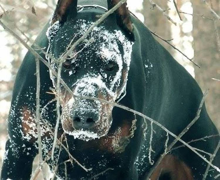 This breed is famous for its loyalty and intelligence. It is considered the best guard dog - it attacks only if it is provoked or the owner and his property are in danger. Aggression, coupled with the size and strength make the Dobermans potentially dangerous